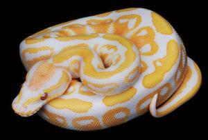 baby albino ball python for
