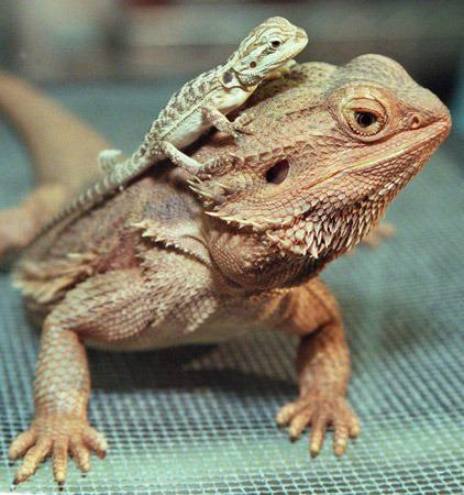 All Adult bearded dragons for sale think