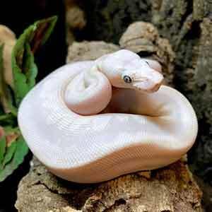 baby blue eyed leucistic ball python