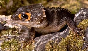 baby red eye crocodile skink