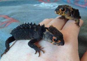 baby red eyed crocodile skink for sale
