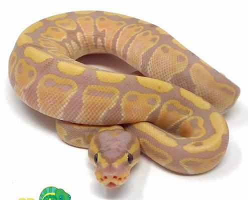ball python for sale