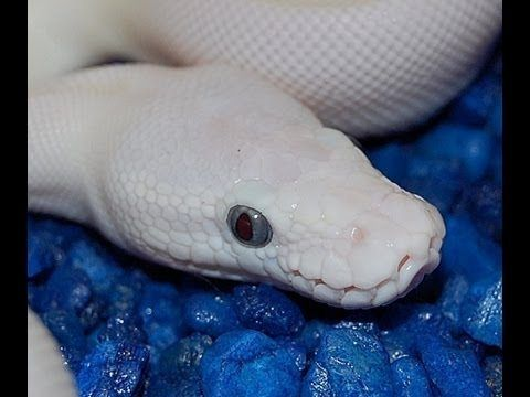 blue eyed leucistic ball python for sale
