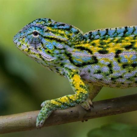 Carpet Chameleon for sale