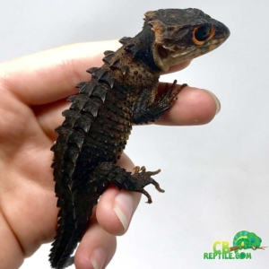 crocodile skink for sale