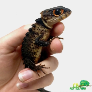 crocodile skink for sale near me