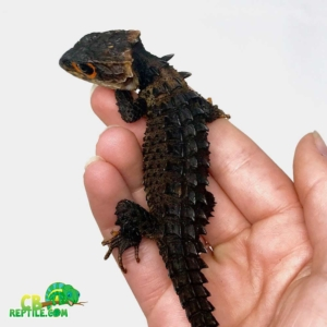 crocodile skinks for sale