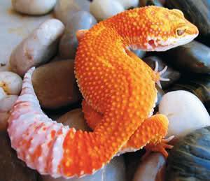 firewater leopard gecko