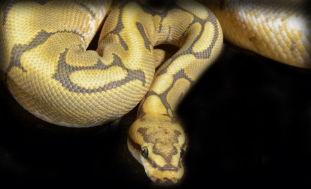 honeybee ball python for sale