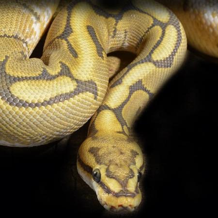 honeybee ball python for sale