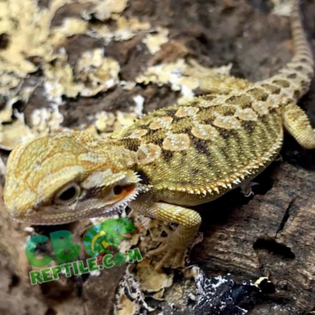 hypo bearded dragon for sale
