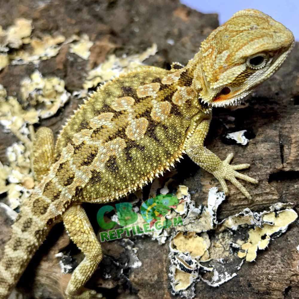 hypo bearded dragons for sale