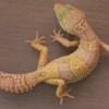 Mack Snow Albino Leopard gecko for sale