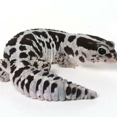 Oreo fat tail gecko for sale