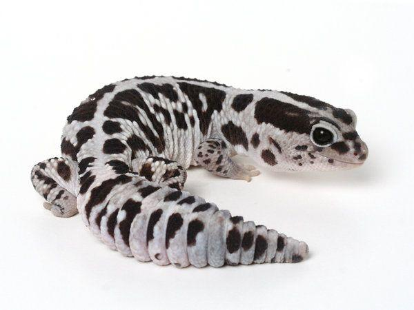 Oreo African Fat Tailed Gecko For Sale Captive Bred