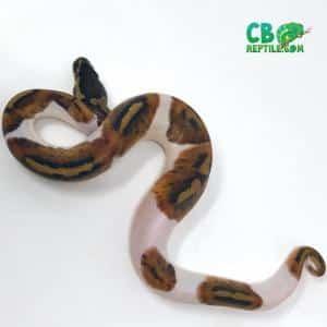 piebald pythons for sale