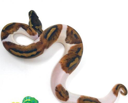 pied ball python breeders