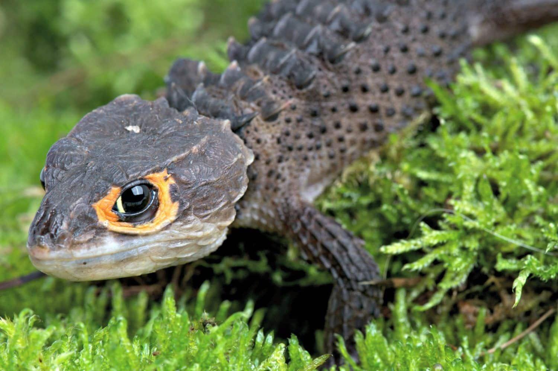 Red eyed crocodile skink for sale | baby red eye crocodile ...