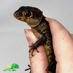 red eyed crocodile skink for sale