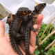 Mossy Leaf Tailed Gecko for Sale