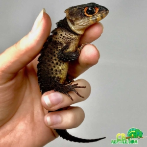 red eyed crocodile skinks for sale