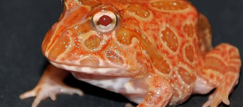 strawberry pacman frog for sale