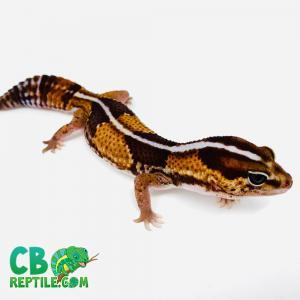 stripe fat tailed gecko
