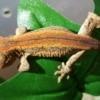 orange and red stripe gargoyle gecko