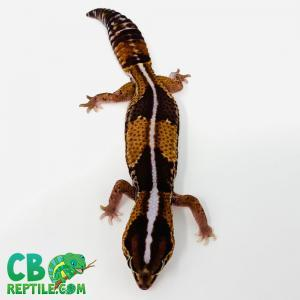 Striped African fat tail gecko