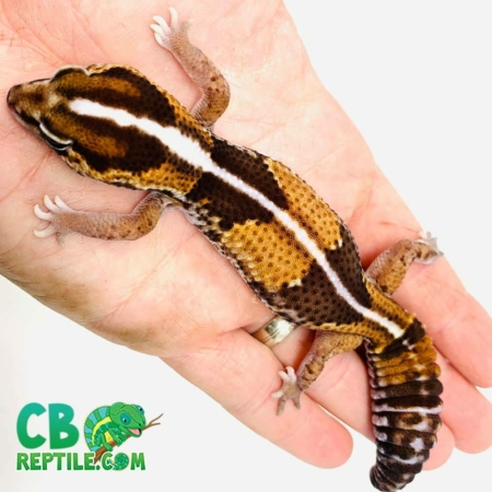 striped fat tail gecko for sale