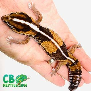 striped fat tail geckos for sale