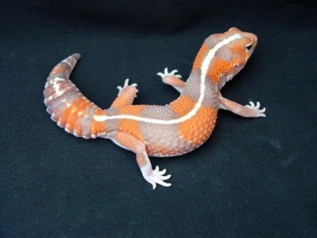 Striped Tangerine African Fat Tailed Geckos