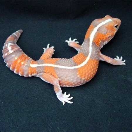 striped tangerine fat tailed gecko