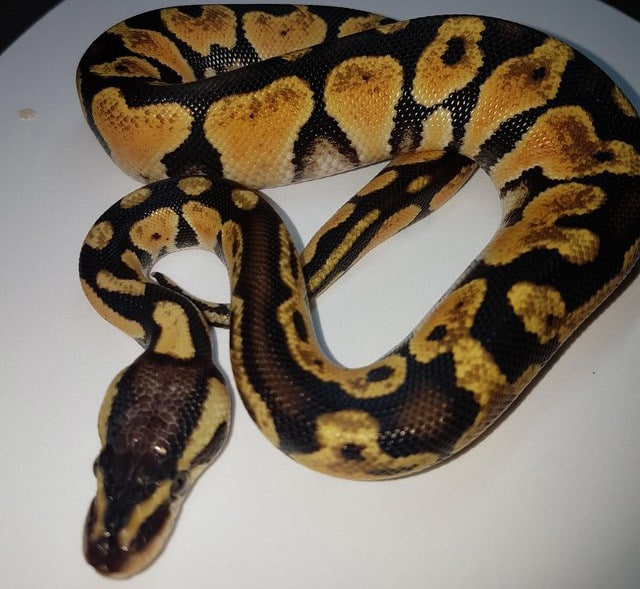 Yellow Belly Ball Python For Sale Online Baby Yellow Belly