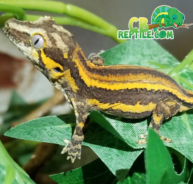 Yellow Striped Gargoyle Gecko For Sale Online Baby Yellow