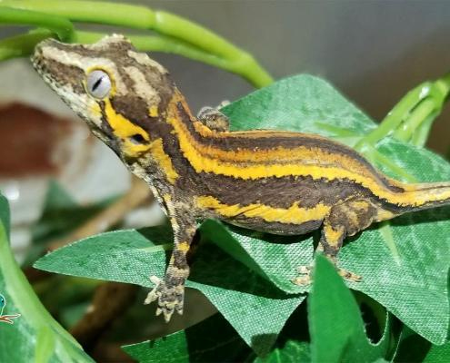 yellow striped gargoyle gecko