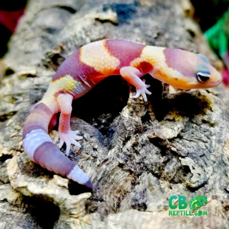 albino fat tailed gecko for sale