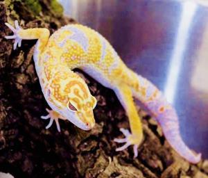 albino leopard geckos for sale