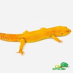 baby sunglow leopard gecko