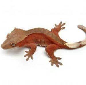 bicolor crested gecko