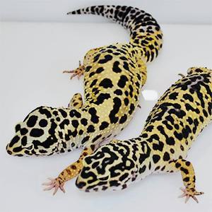 bold leopard geckos for sale