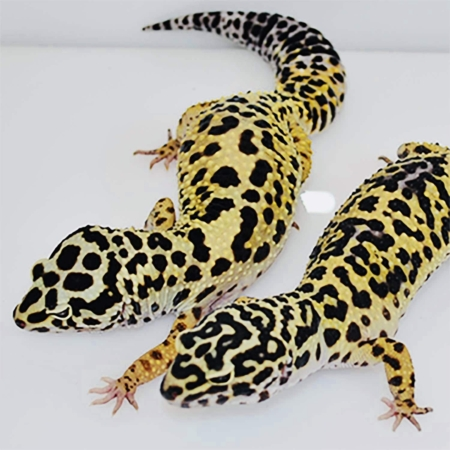 bold leopard geckos for sale