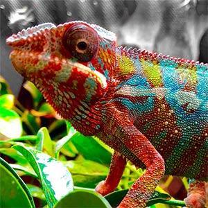 chameleons for sale online