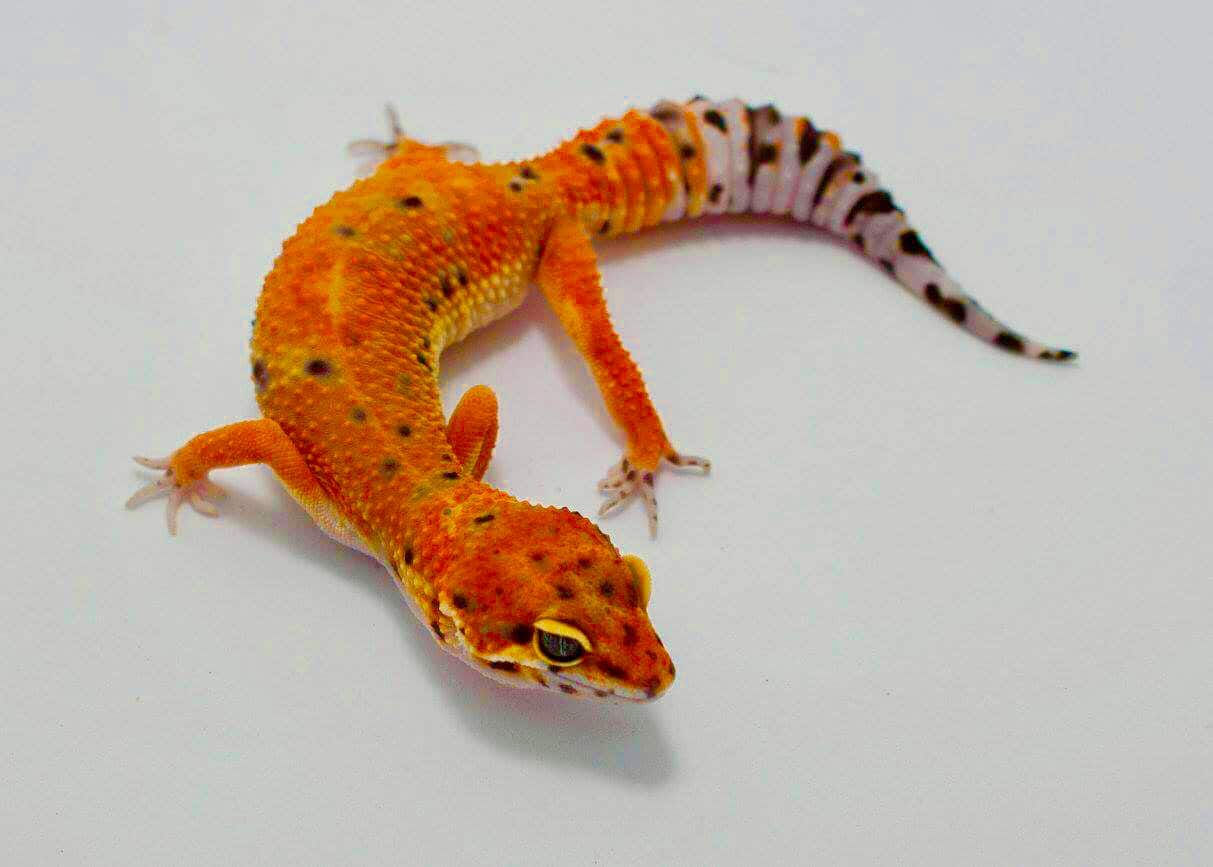 Bold Striped Leopard Gecko