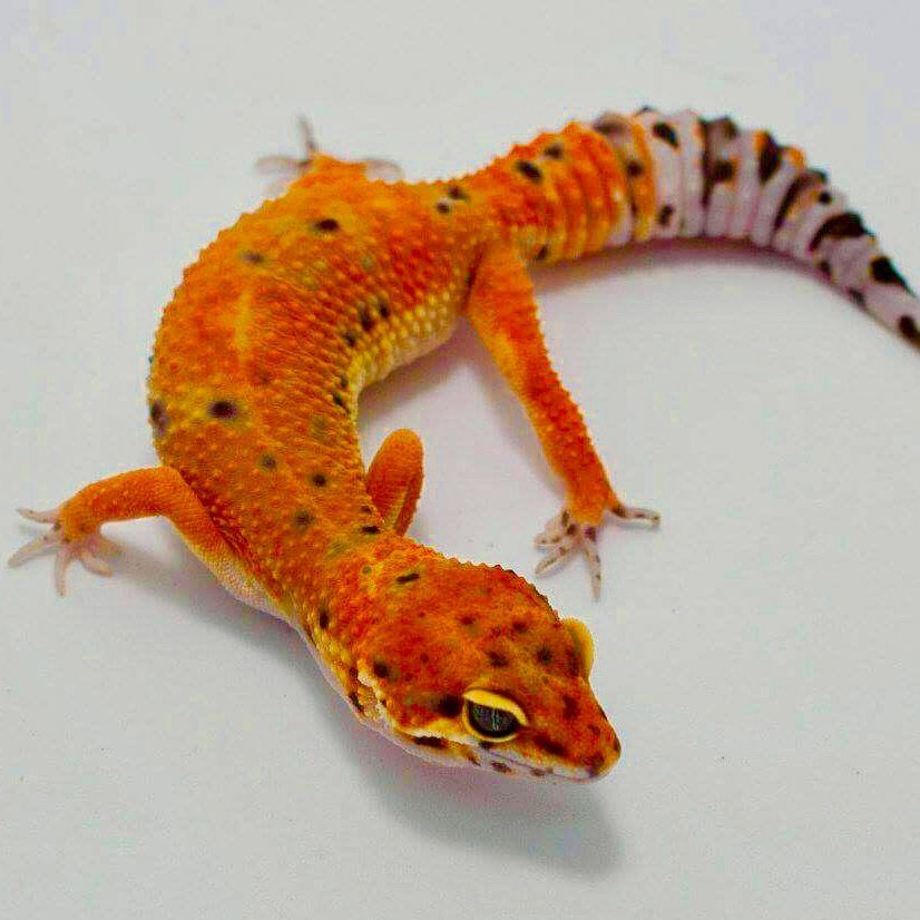 inferno leopard gecko for sale baby tangerine inferno leopard