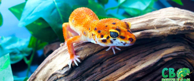 leopard gecko geckos inferno tangerine albino morphs breeders looking giant