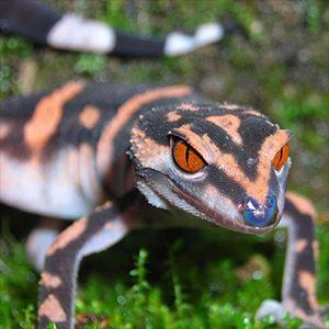 japanese cave geckos for sale