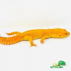 sun glow leopard gecko