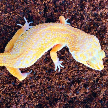 sunglow leopard gecko for sale