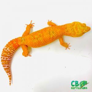 Tangelo leopard gecko